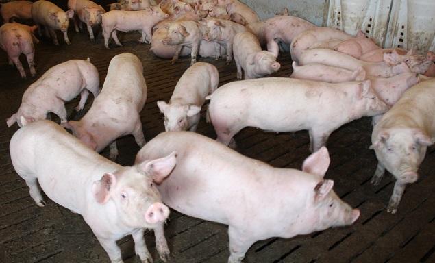 Свиньям неместо вЧистеньком