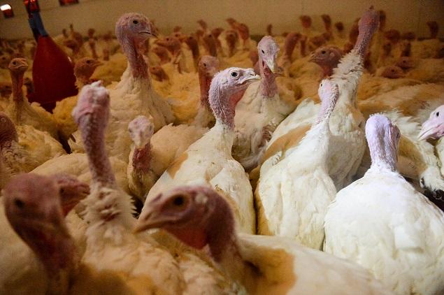 «Евродон» ликвидировал 160 голов индейки из-за птичьего гриппа